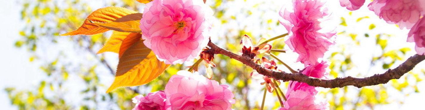 Главный фестиваль цветения вишни в Корее