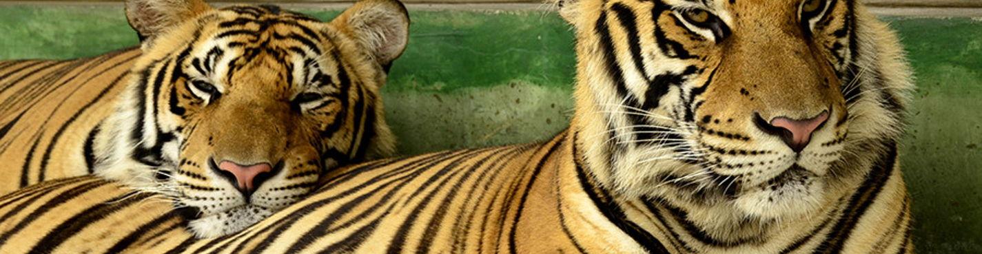 Тигры на Пхукете — новая экскурсия на Пхукете — Happy Day