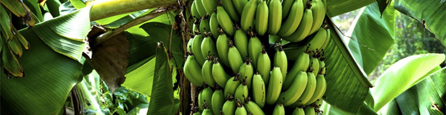 Экскурсия на банановую ферму под Киевом (Рожны)