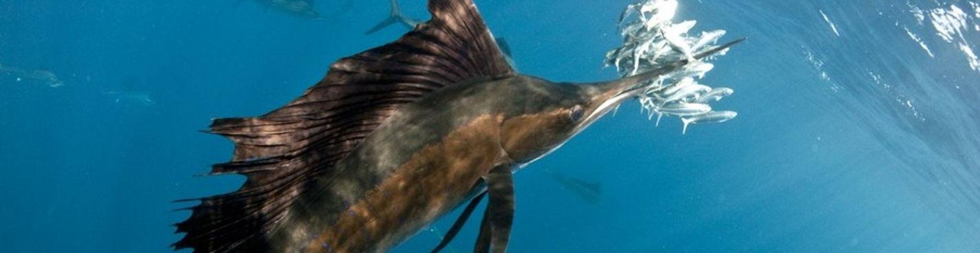 """Мексика: плавание в океане с самыми быстрыми морскими созданиями """"Рыбами-Парусниками"""""""