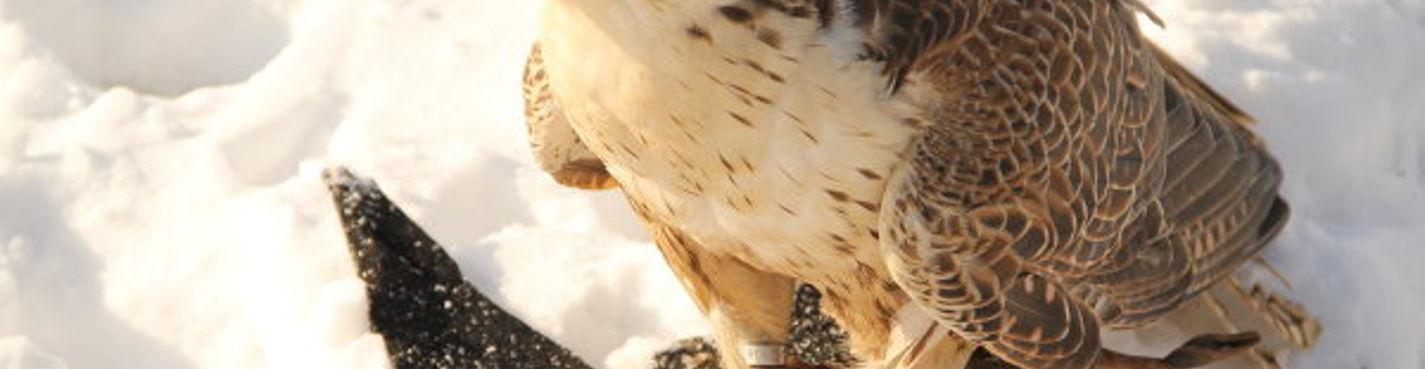 Открытый урок соколиной охоты