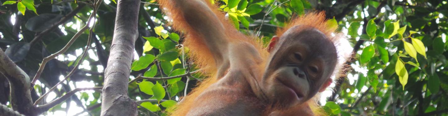 Орангутанги в природном заповеднике Rasa Ria и крокодиловая ферма